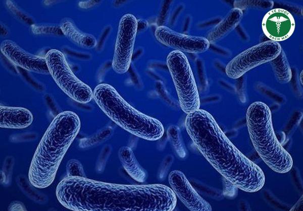 Bacillus Subtilis có khả năng thủy phân thức anh nhanh, ức chế hại khuẩn, làm nhanh lành vết thương
